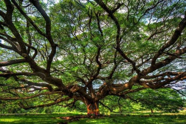 Pirangi Cashew Tree Brazil