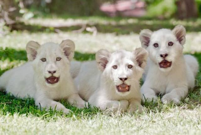 The White Lion Cubs most expensive animals