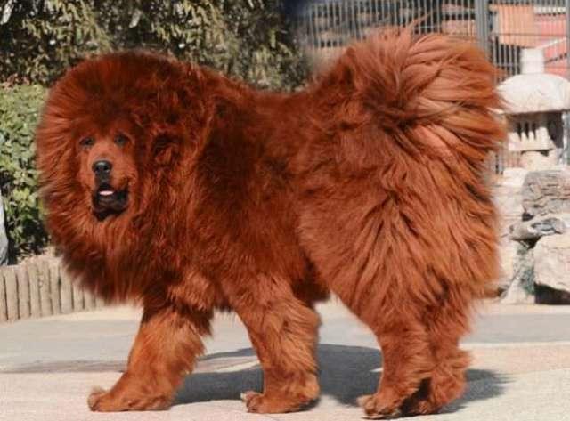 Tibetan Mastiff most expensive animals