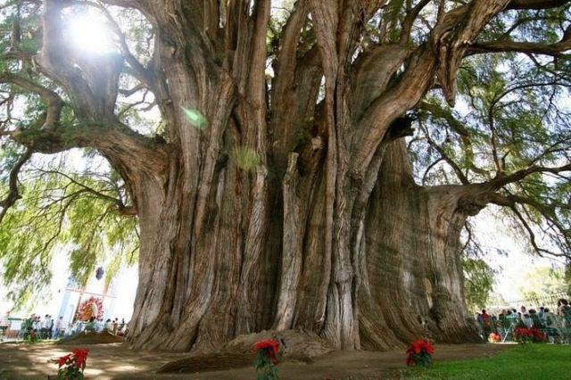 Tree of Tule unusual and strange trees