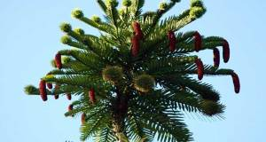 Wollemi Pine unusual and strange trees