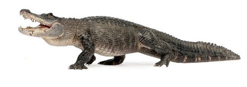 Alligator Mom