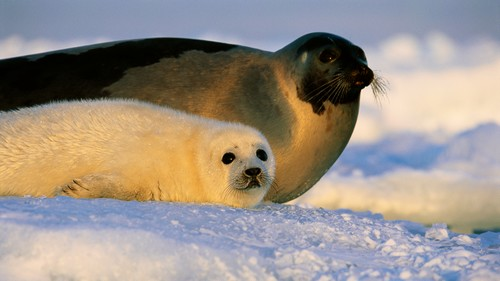 Harp seal baby and mother
