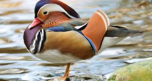 most beautiful and unusual ducks