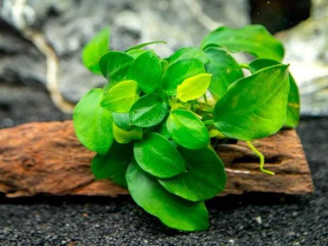 Anubias Nana Best Aquarium Plants