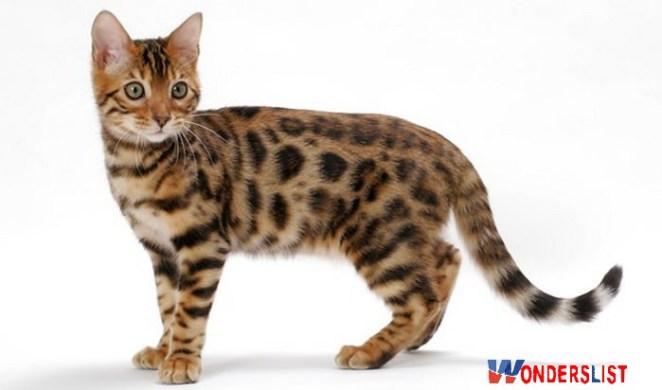 bengal cat hypoallergenic