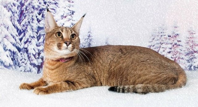Caracat World's rarest cat breed