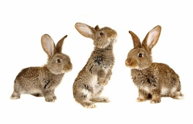 Rabbits Pets for kids