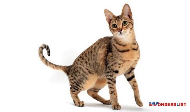 Savannah Mixed Cat Breed