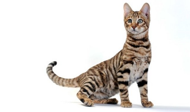 Toyger Cat Breed