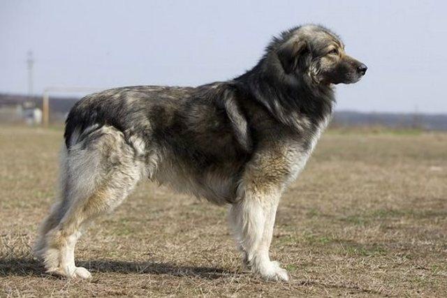 German Shepherd Lookalike Romanian Shepherd