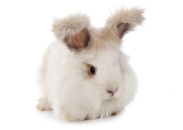 English Angora Smallest Rabbit Breeds