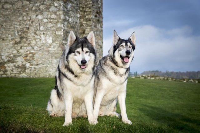 Northern Inuit Dog breeds that look like german shepherds