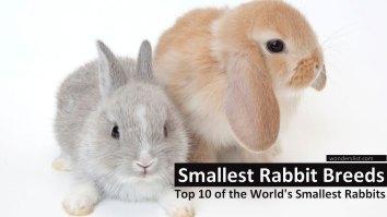 Smallest Rabbit Breeds