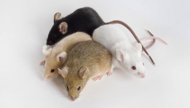 Rodents as Pets Fancy Mouse
