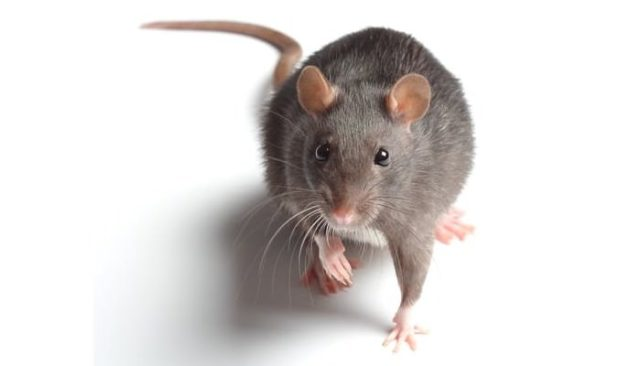 Rodents as Pets Rat