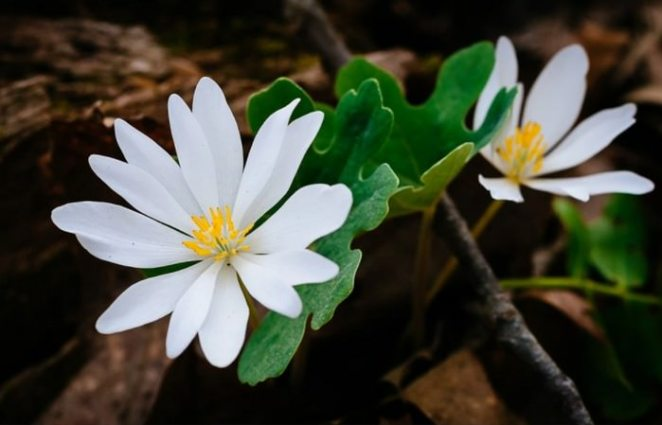 Sanguinaria canadensis flowers that will kill you