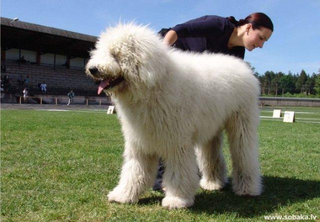 Komondor (Hungarian sheep dog)