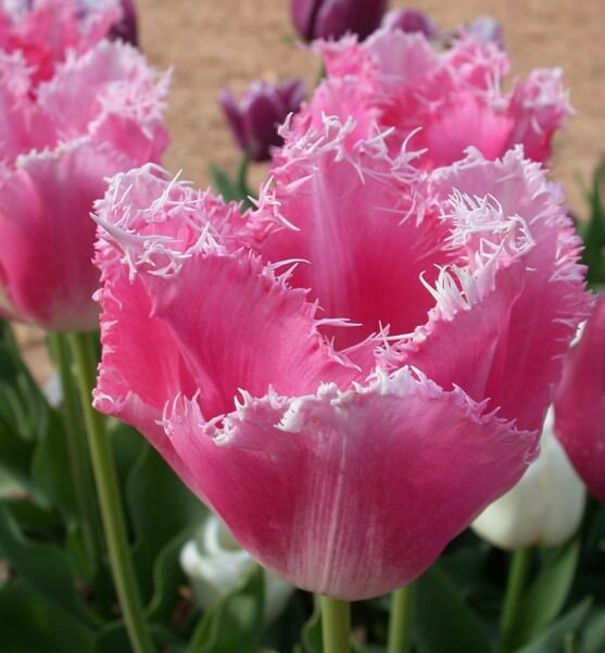 Image result for frill tulips