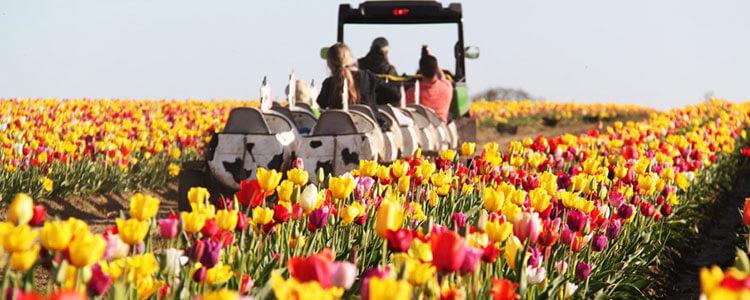 tulip-fest-gallery2