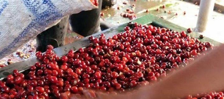 Coffee of the Month: Guatemala El Injerto