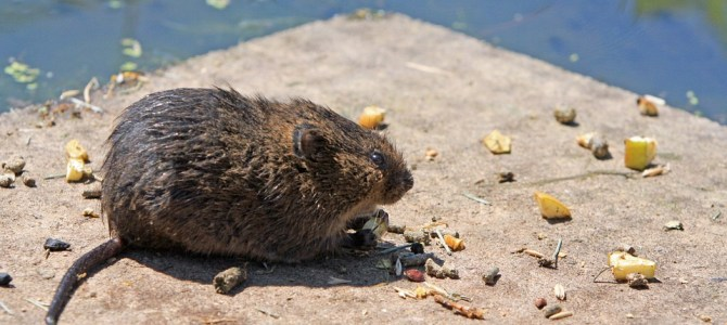 Various Ways To Deal With Rodents At Home