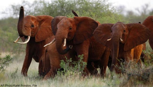 african-elephants-111817_1520416441463.jpg