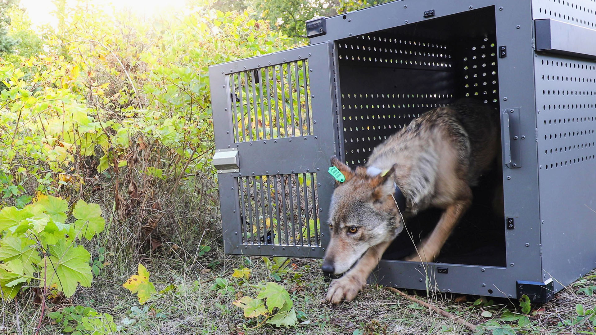 FILE - This Sept. 26, 2018, file photo provided by the National Park Service shows a 4-year-old female gray wolf emerging from her cage at Isle Royale National Park in Michigan.(National Park Service via AP, File)