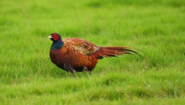 generic pheasant getty images 010119_1546352918186.jpg.jpg