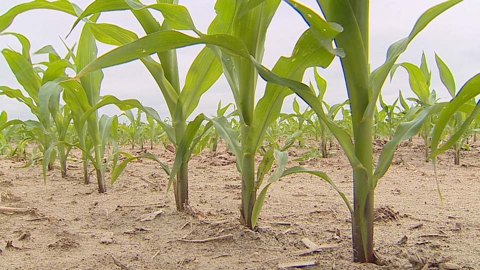 Young corn in field