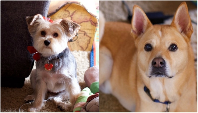 """To celebrate National Dog Day, News 8 staffers shared photos of their canines. Above is a photo of Anchor Marlee Ginter's dogs Emma and Romeo. Emma is a Schnorkie. Ginter got her during a difficult time, so she named her Emma, the Teutonic meaning """"Healer of the World."""" Romeo is a Shiba Inu mix. He was found on Valentine's Day, so the shelter named him Romeo."""