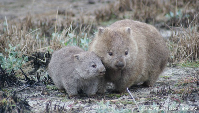 Wombats huddled together
