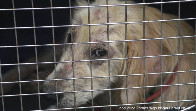 FILE - In this June 19, 2019 file photo, a dog taken from a property in Klingerstown, Pa., looks out from its cage during an animal cruelty investigation. (Jacqueline Dormer/Republican-Herald via AP)