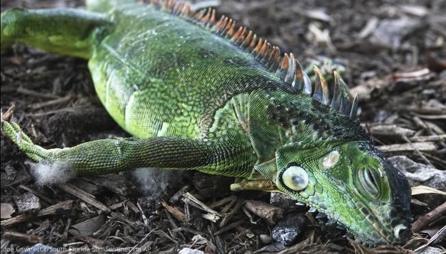 A stunned iguana lies in the grass at Cherry Creek Park in Oakland Park, Fla., Wednesday, Jan. 22, 2020. (Joe Cavaretta/South Florida Sun-Sentinel via AP)
