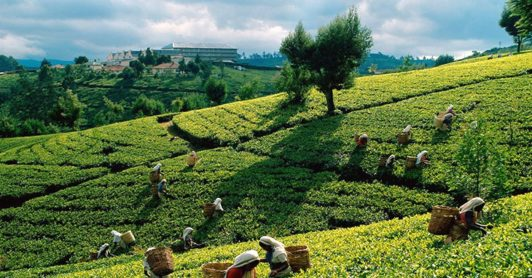 World Asia Sri Lanka Tea Plantation www.woodyworldpacker.com
