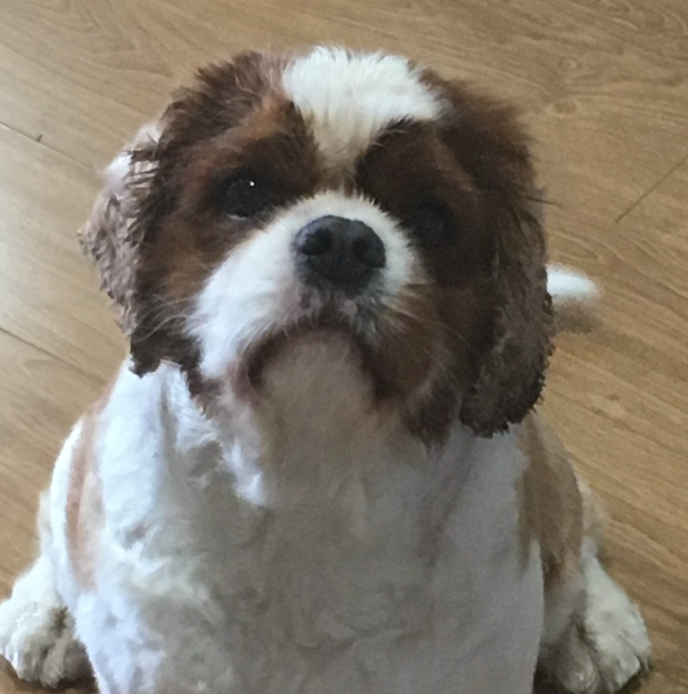 Cavalier tan and white sitting on floor