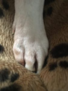paw of a white Staffordshire bull terrier
