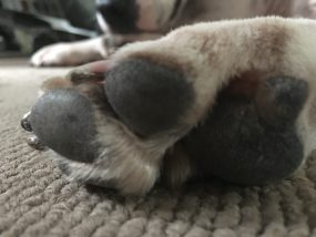 Pad of a Staffordshire bull terriers paw