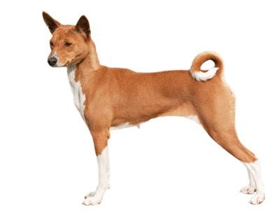 Basenji. Dogs in Africa