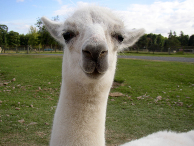 No llama in me, that's for sure