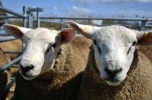 How do ewe do?