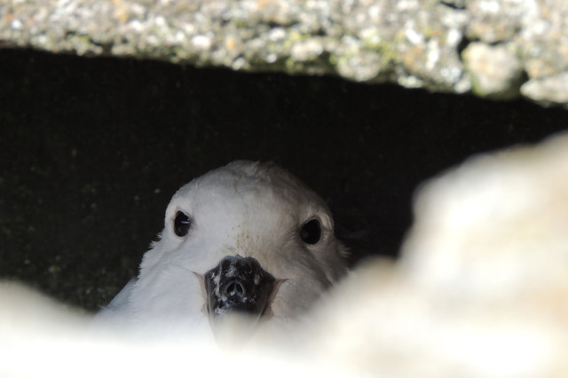 which perturbed the Fulmar hiding inside that brick pier, so