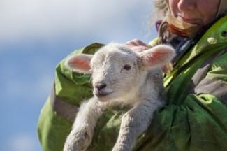 Alice the Lleyn lamb