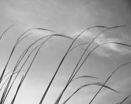 The Pampas Grass beginning to flourish
