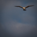 fulmar on patrol-3