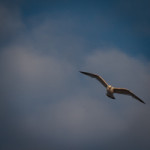fulmar on patrol-6