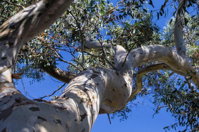 Eucalyptus in camo