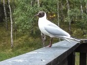 Black-headed Gull at Ralia