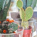 een cactussen tuintje