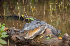 innisfail crocodile cruise with snapping tours on johnstone river